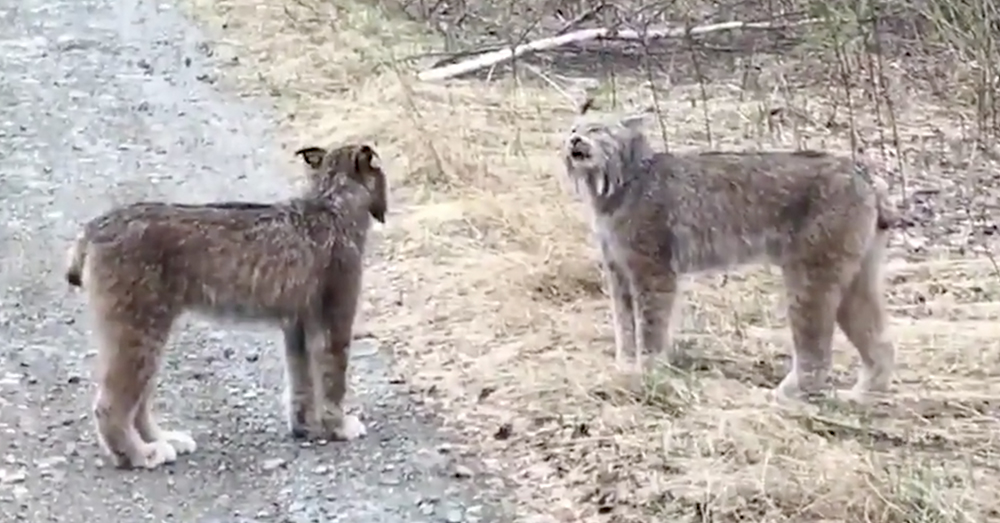 Source: Twitter/Globalnews.ca When two lynx fight for dominance, the event typically doesn't last long.
