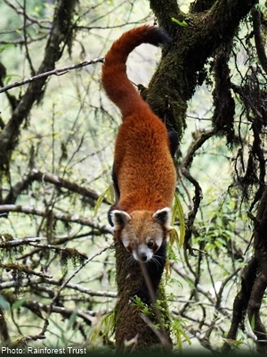 red panda walking down a moss-covered tree branch