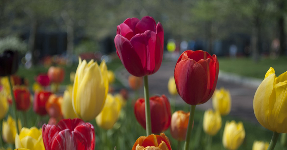 Source: PxHere Tulips are popular flowering plants in the spring.