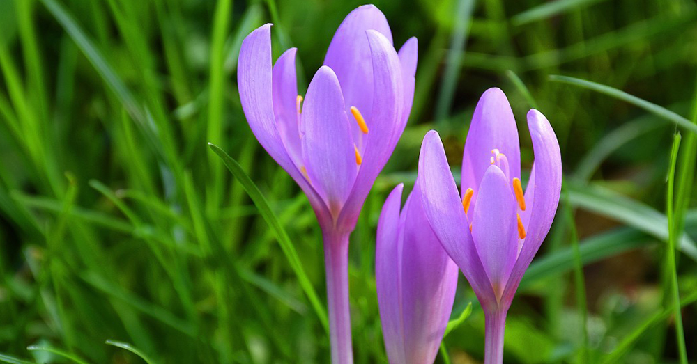 Source: PxHere The flowers of the beautiful crocus are also quite deadly.