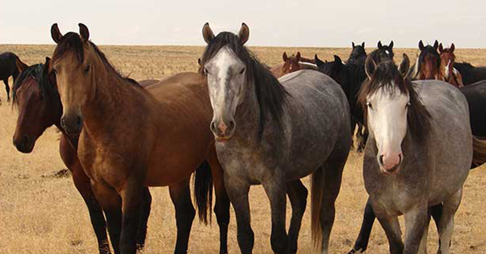Source:  Bureau of Land Managment Hundreds of thousands of wild horses roam the American southwest.