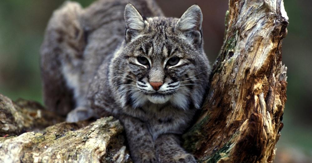 bobcat-hunting-revoked-1