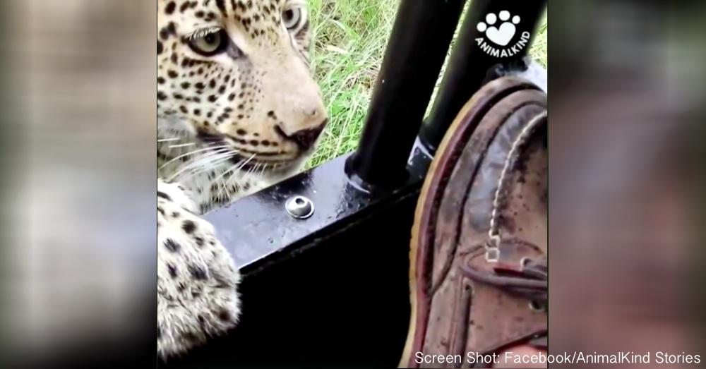 curious-leopard-1
