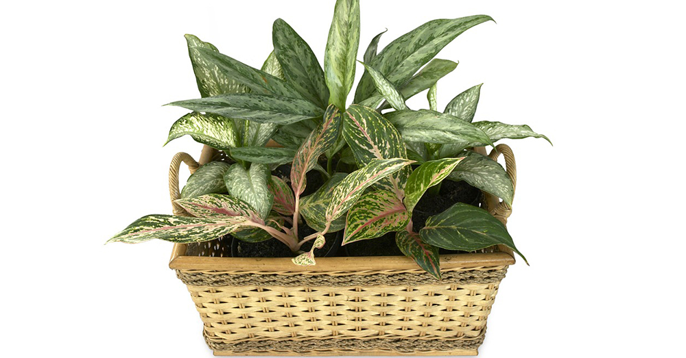 Source: Max Pixel Diffenbachia is a popular decorative plant, but its leaves contain toxic substances.