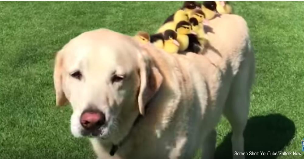 labrador-fosters-ducklings-1