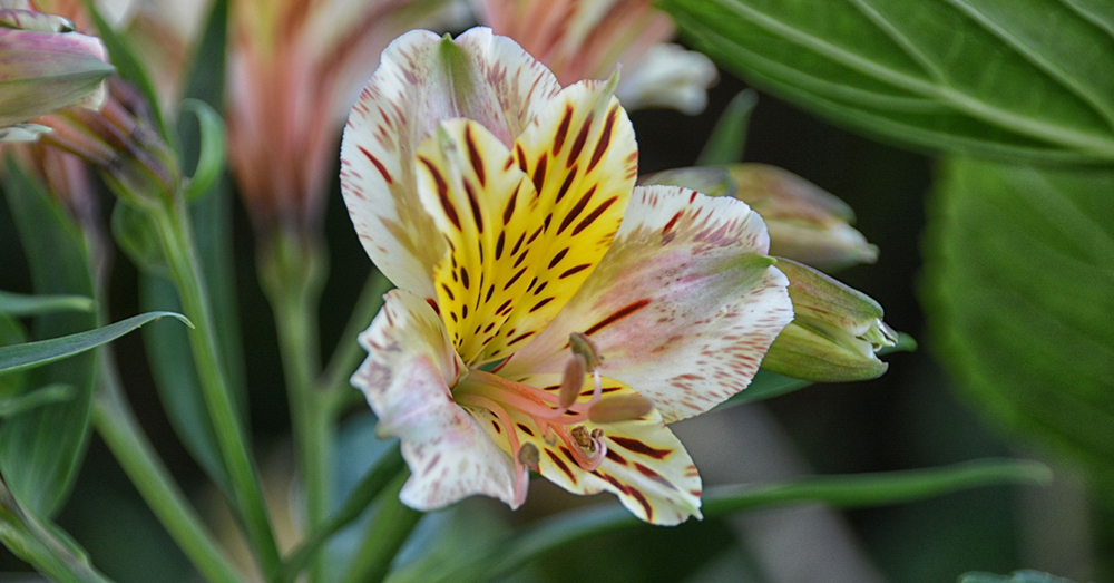 Source: Public Domain Pictures Many kinds of lilies, including these Japanese Show lilies, are poisonous to animals.