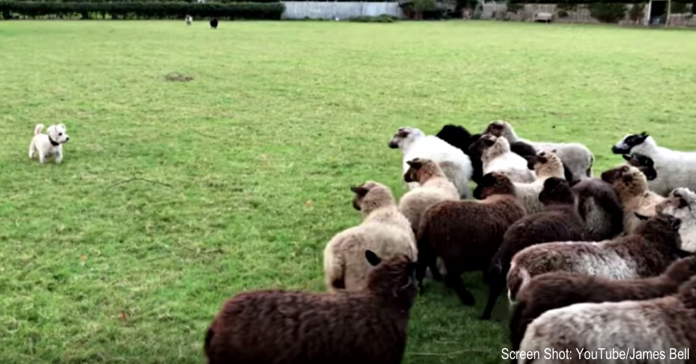 nelson-sheep-dog-1