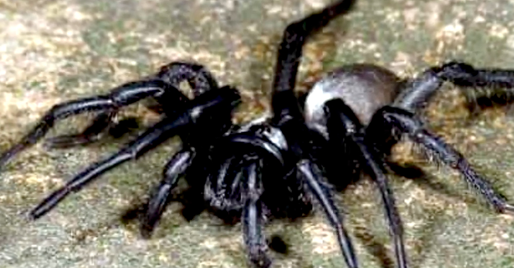 Source: YouTube/Techsciencology The oldest known trapdoor spider was 43 years old when it died.