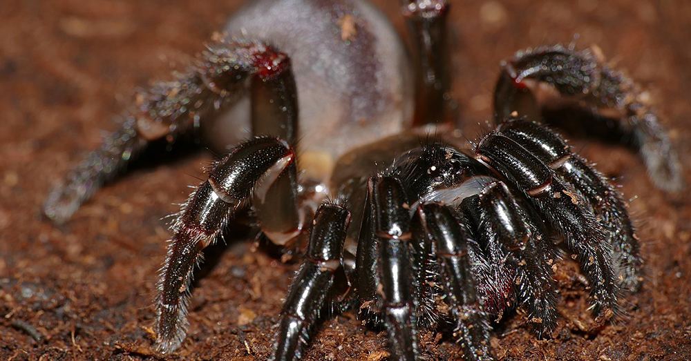 Source: Wikimedia Commons Trapdoor spiders rarely leave their burrows.