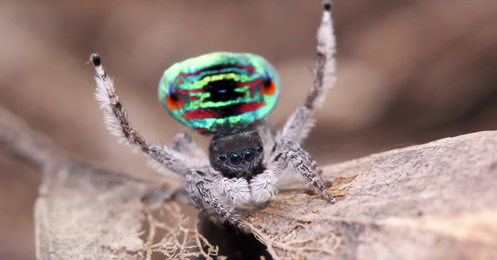 Source: YouTube/Peacockspiderman One of the peacock spiders found by  Jürgen Otto and David Knowles.