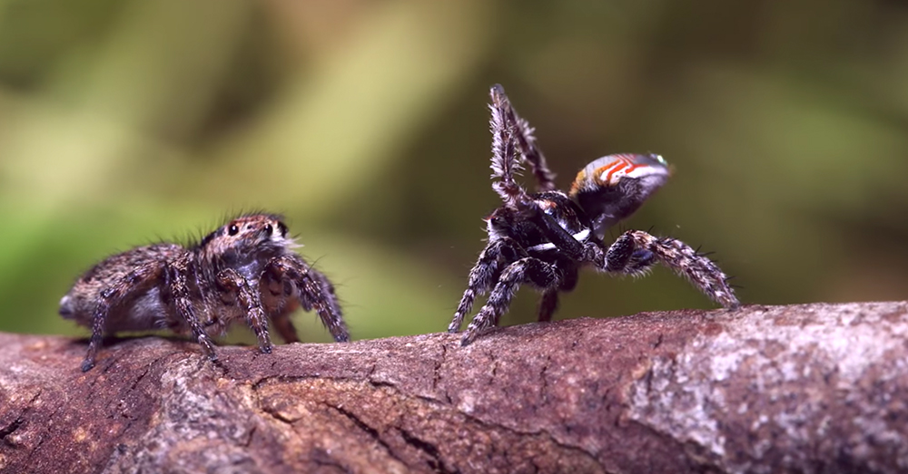 Source: YouTube/Peacockspiderman Peacock spiders are known for their mating dances, during which they show vibrant colors.