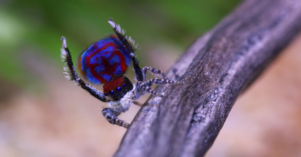 Source: YouTube/Peacockspiderman The peacock spider makes up the Maratus genus of arachnids.