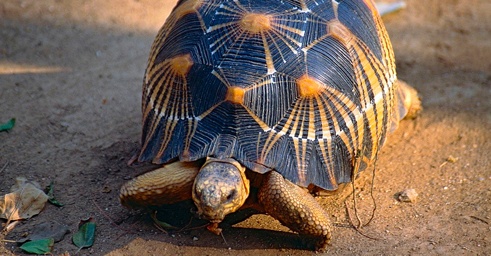 Source: Wikimedia Commons Radiated tortoises are native to southern Madagascar.
