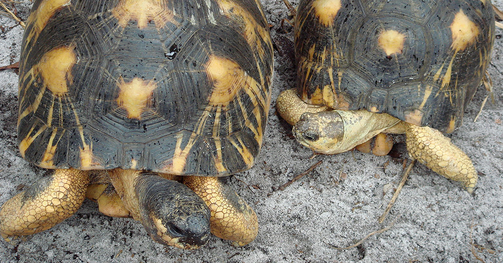 Wikimedia Commons Radiated tortoises.