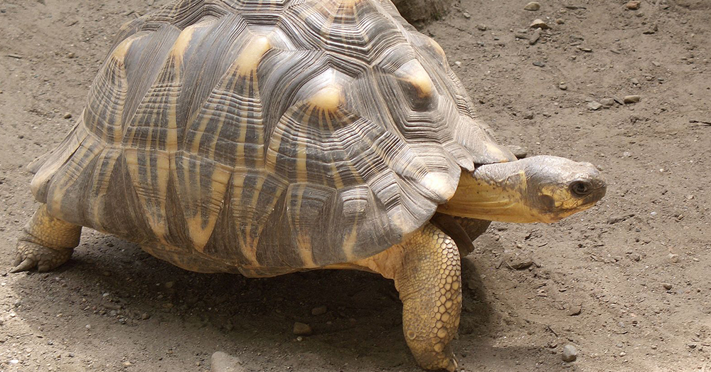 Source: Wikimedia Commons At least 180 of the radiated tortoises rescued in Madagascar were killed.