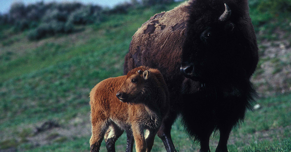 Source: Pixnio The bison has been protected by the Department of the Interior since the 1800s.
