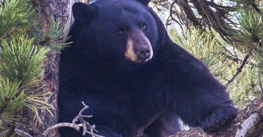Source: National Parks Service Black bears are great tree climbers.