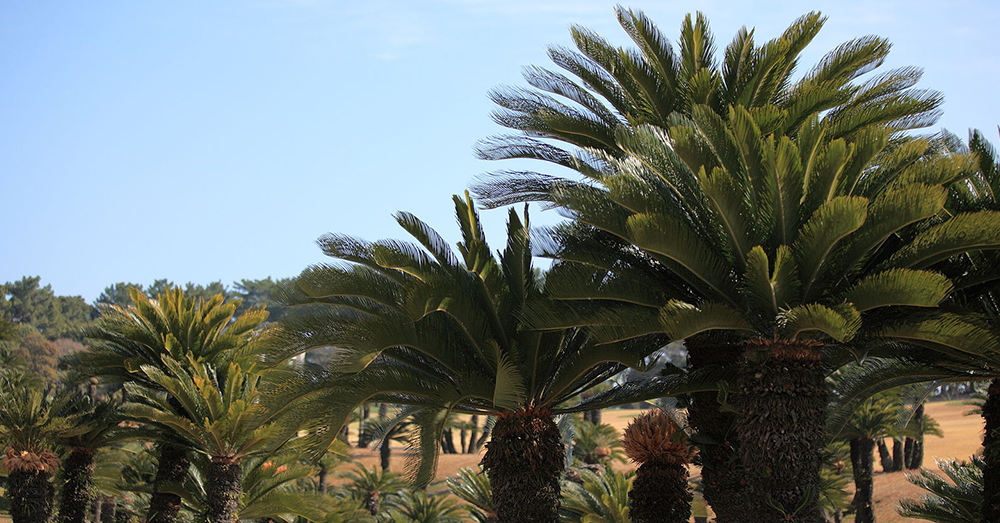 Source: Wikimedia Commons Sago palm leaves are extremely toxic.