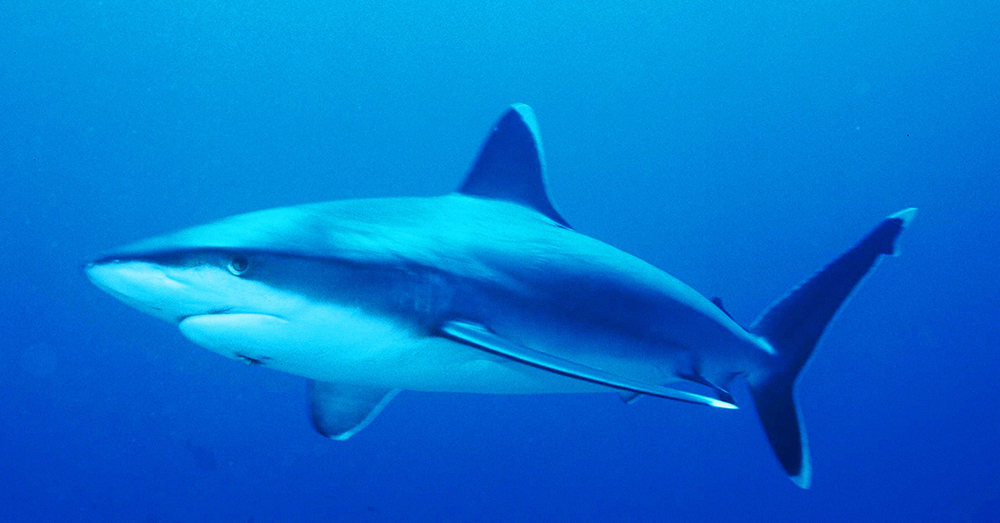 Source: Wikimedia Commons As many as 73 millions harks a year are killed for their fins.