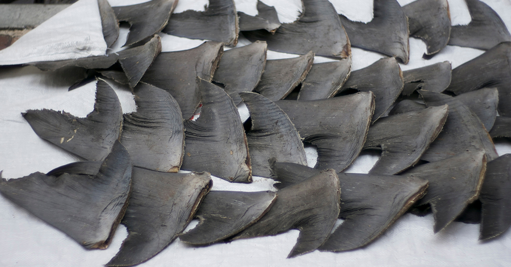 Source: Wikimedia Commons Fresh shark fins dry on the sidewalk in Hong Kong.