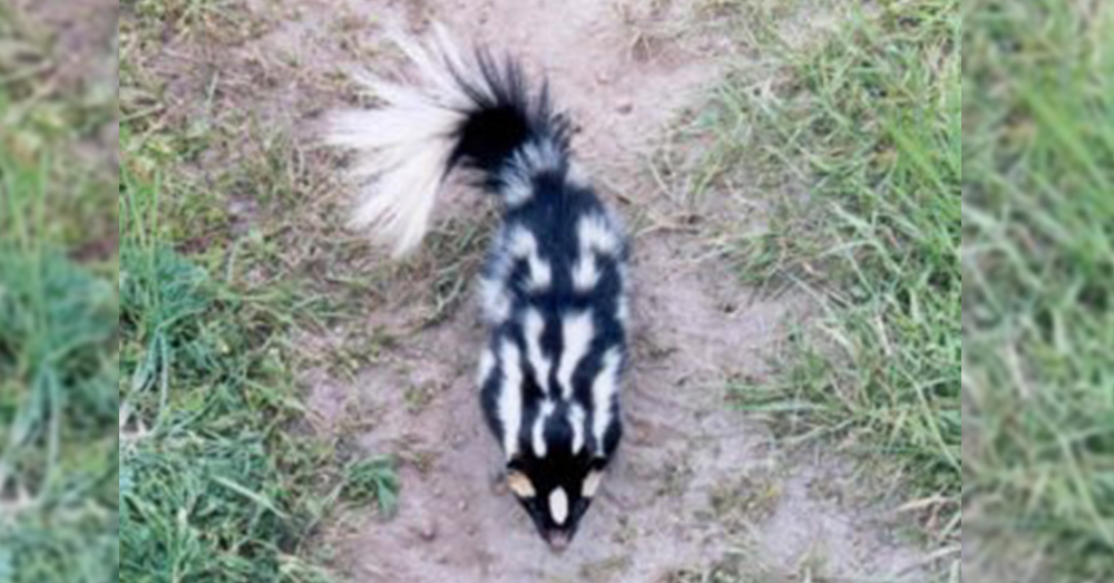 Source: National Park Service A  Western Spotted skunk.