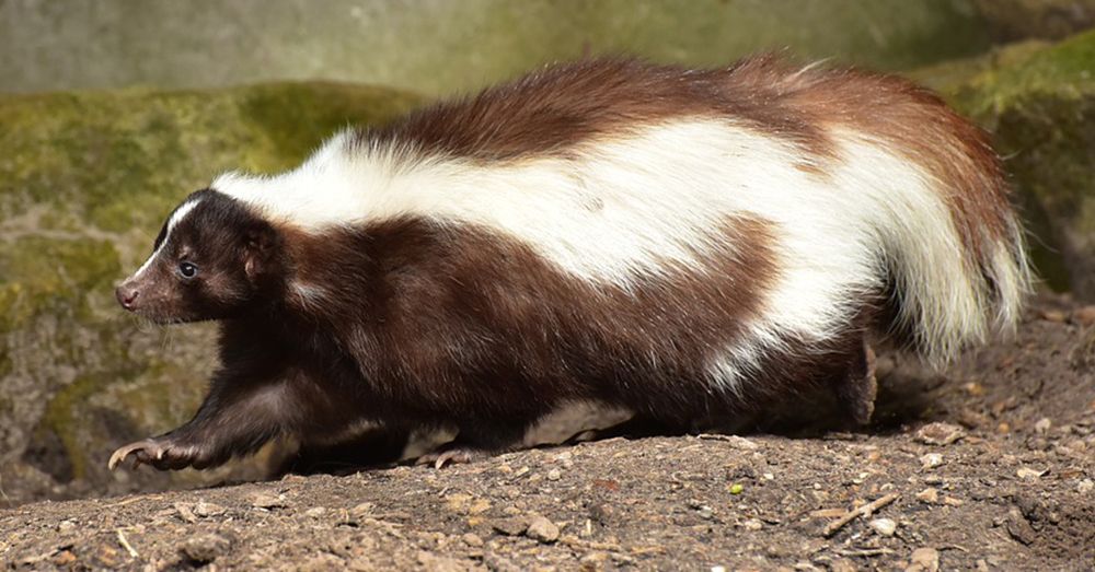 Source: Pexels A Hooded skunk.