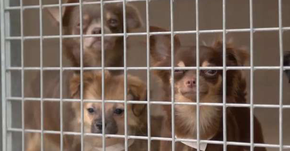 Source: YouTube/ Daily Mail The dogs were taken to a nearby RSPCA facility, where they were cared for.