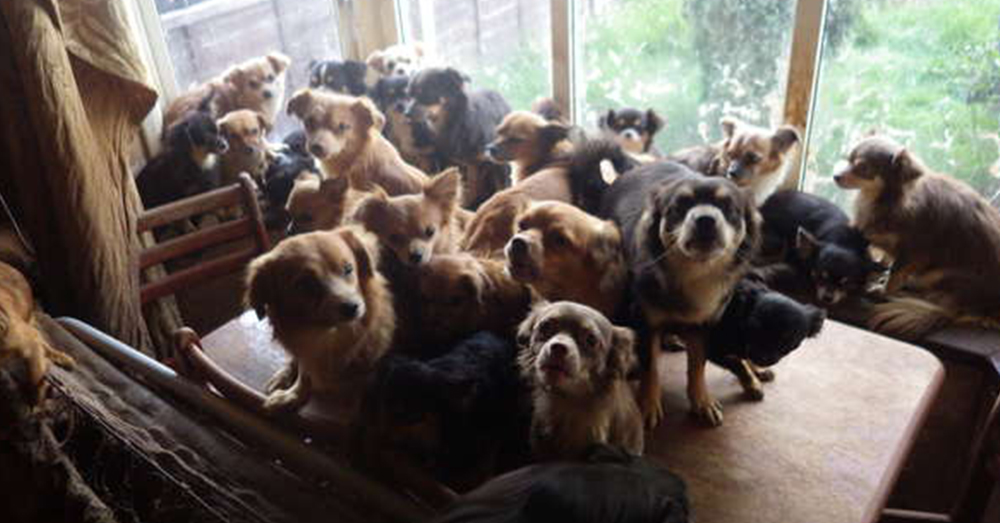 Source: YouTube/ Daily Mail Officers in Birmingham found dozens of chihuahuas at the home.