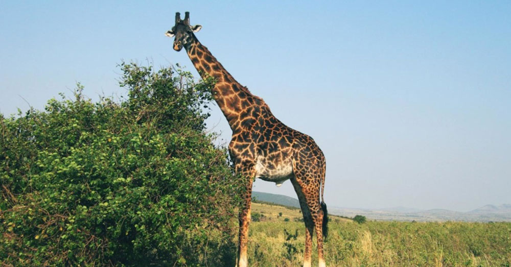 Source: Pixnio If current trends remain unchanged, giraffes may soon go extinct.