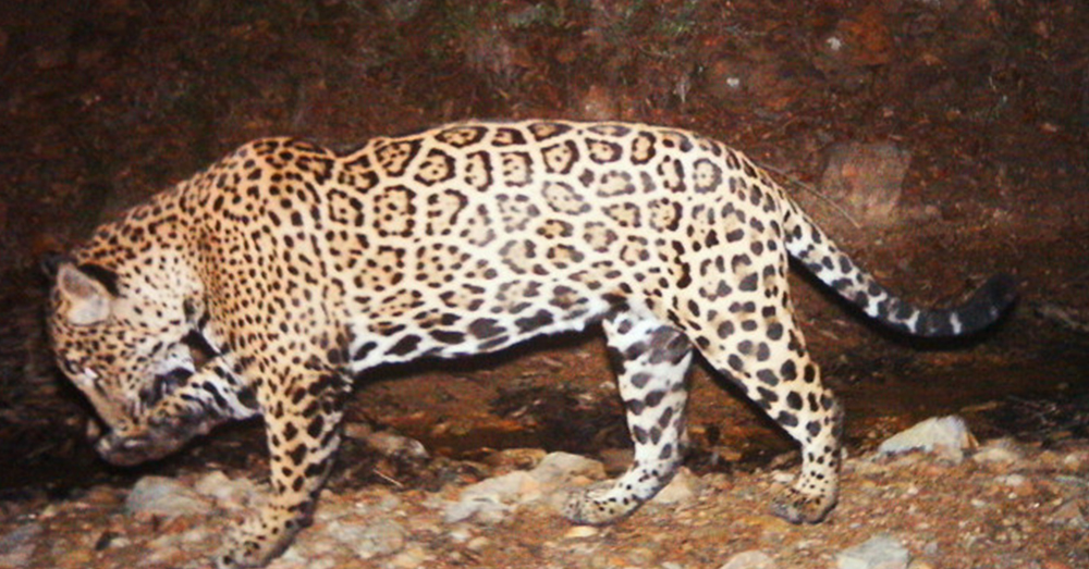 Source: Wikimedia Commons A male jaguar stalks the mountainous regions of Arizona.