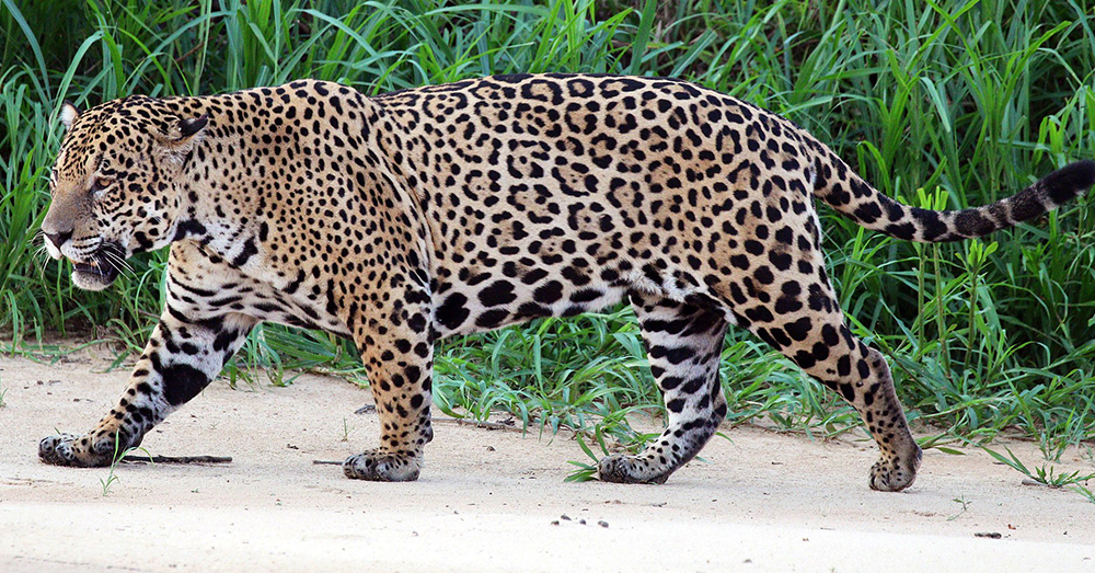 Source: Wikimedia Commons Jaguar hunting is illegal in the United States and Mexico.