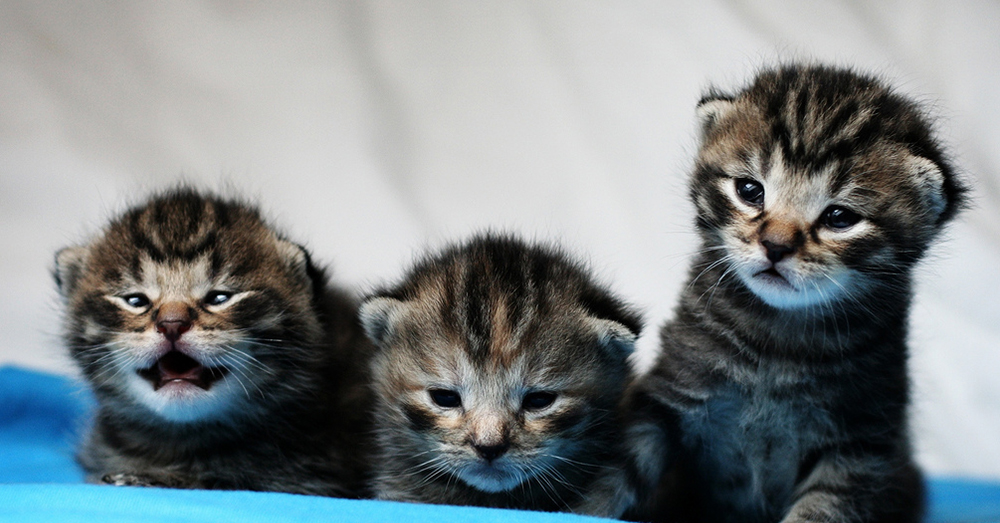 Source:  flickr/Mathias Erhart The kittens are given toxoplasmosis-laced tissue to eat in USDA sanctioned experiments.