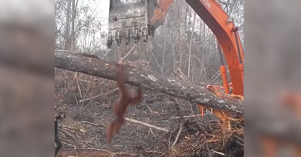 Source: Facebook/NowThis Workers followed the orangutan with canes as it jumped on the machine.