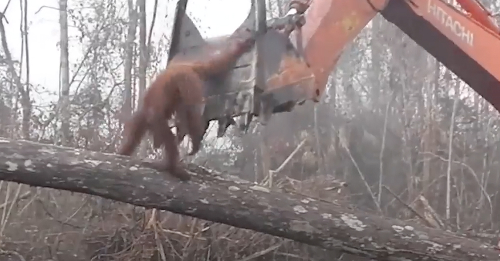 Source: Facebook/NowThis The orangutan grabs the front of the bulldozer.
