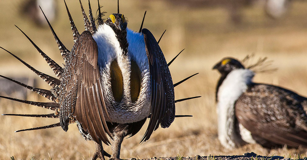 Source: Wikimedia Commons Sage grouse habitats are threatened by oil developments and rangeland fires.