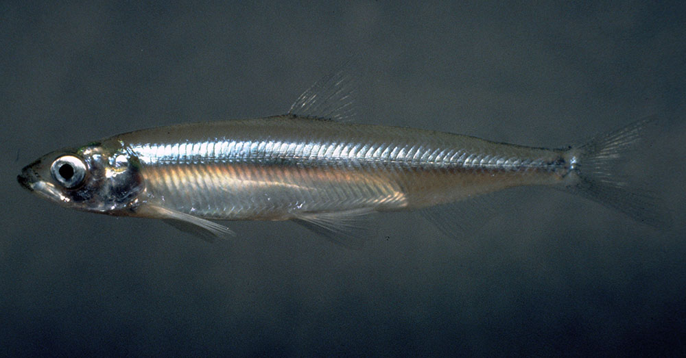 Source: Good Free Photos There were once no more than 6 Delta Smelt living in California.