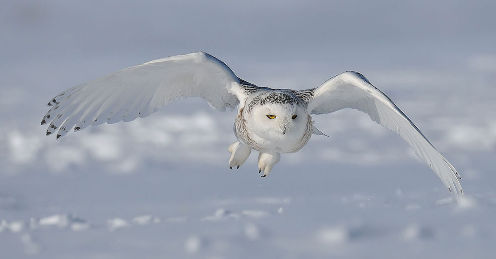Source: Wikimedia Commons The snowy owl is protected under the U.S. Migratory Bird Act, though they were once, and still are, prized as hunting trophies.