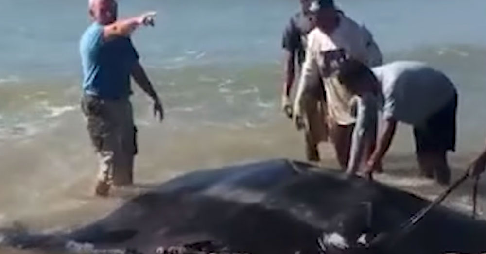 Source: YouTube/The Dodo Several strangers joined together to push the ray out to sea.