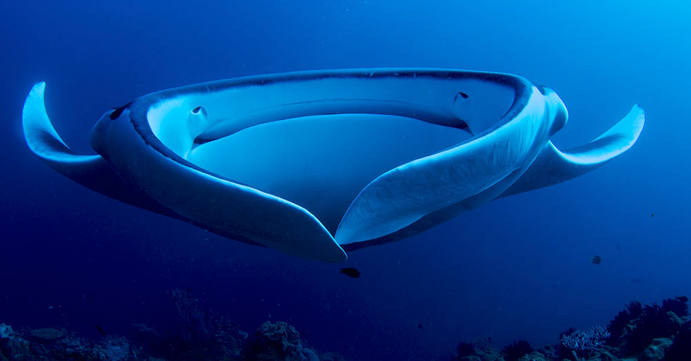 Source: Wikimedia Commons Giant Manta Rays are listed as