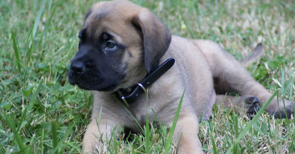 Source: Wikimedia Commons Mara was an 8-month-old Mastiff.