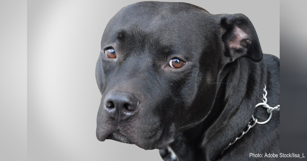 Five Pit Bulls Rescued From Large Dogfighting Ring Were