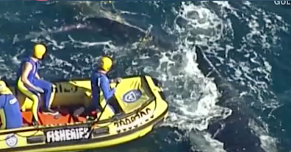 Source:  CNN Video The humpback whale was caught in a shark net off the coast of Australia.
