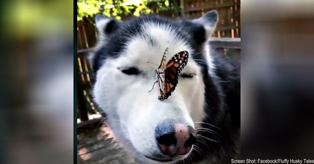 butterfly-on-husky-1