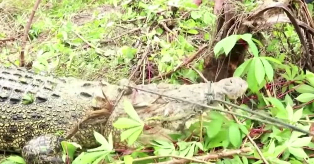 Source: YouTube/TIME Saltwater and New Guinea crocodiles are kept in the Sorong sanctuary.