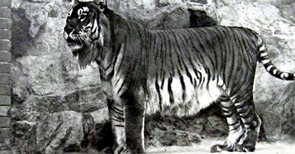 Source: YouTube/list25 The Caspian Tiger was one of the biggest cats to live on earth, and went extinct in the 1970s.