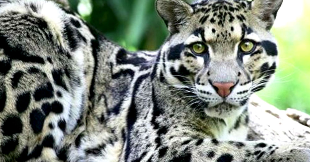 Source: YouTube/list25 The Formosan Clouded Leopard is now extinct.