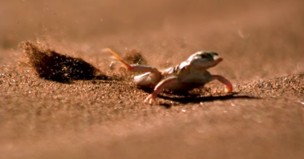 Source: YouTube/Smithsonian Channel Shovel-Snouted Lizard