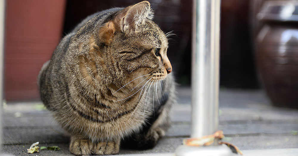 Source: Wikimedia Commons Feral cats are a problem in Australia and New Zealand, too.