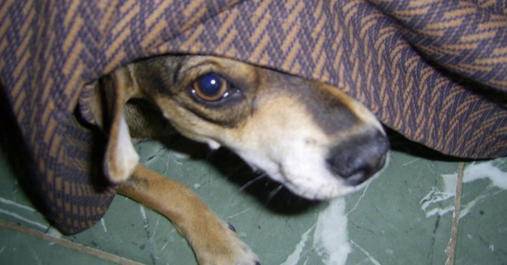 Source: Wikimedia Commons Pets ofter run and hide during fireworks.