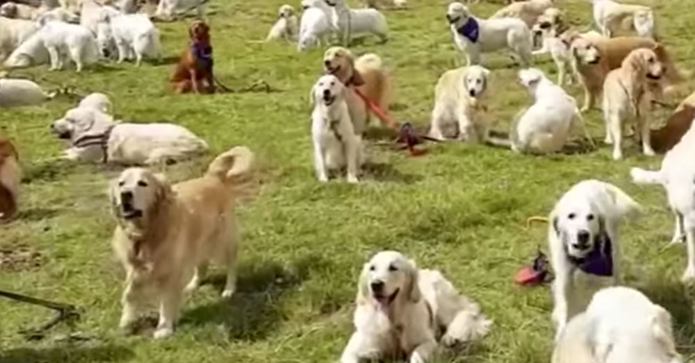 Source: YouTube/CBS News Over 360 Golden Retrievers gathered at the Scottish Highlands.